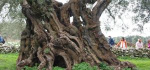 カッツェッタ農園(Cazzetta)のオリーブの古木